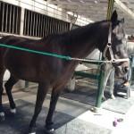 8鞍目-馬とハエ(と私・・・)の格闘