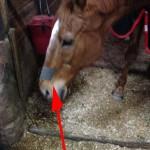 馬にもブリーズライト?(鼻腔拡張テープ)があるらしい。