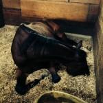 馬の爆睡(写真あり♪)