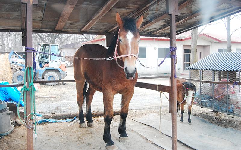 ばんえい馬 若い馬