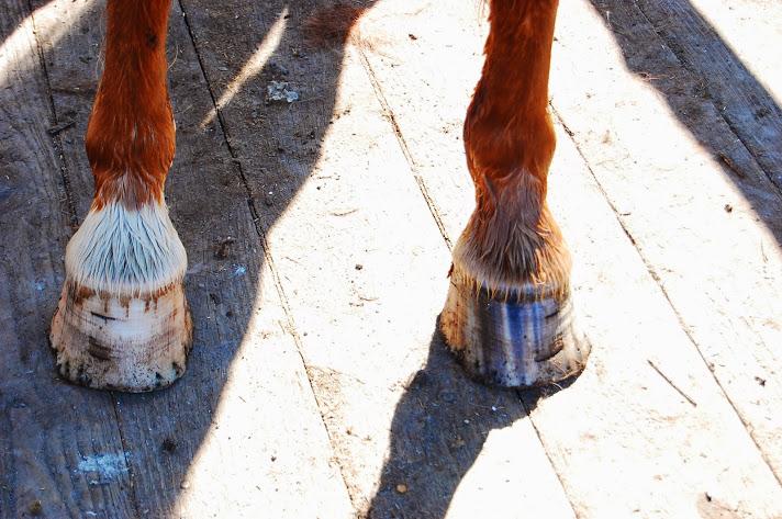 蹄鉄がない馬の足