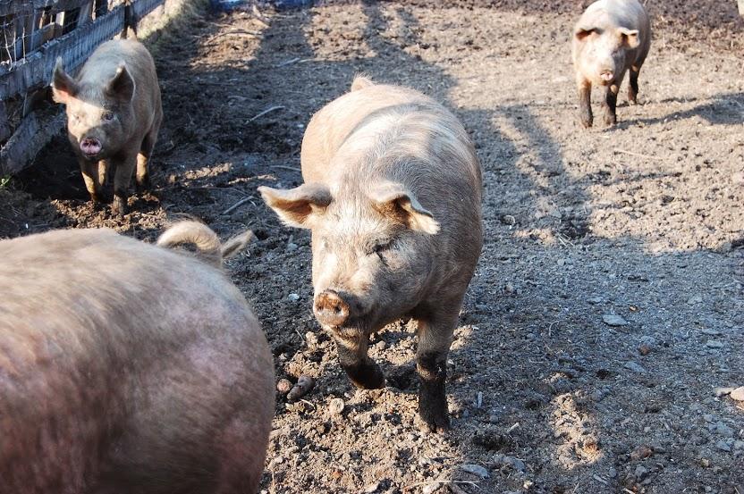 豚の泥浴び