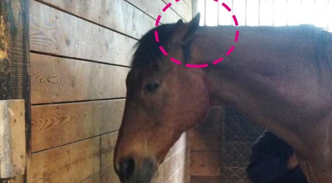 耳を伏せる馬