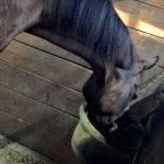 食い意地が張っている馬を馬房から出す…の巻