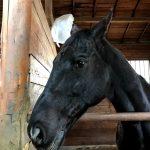 269鞍目-ハミを取った馬はハエを気にしない?馬の集中バロメーター